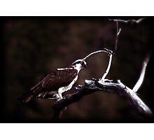 Wet Osprey Photographic Print