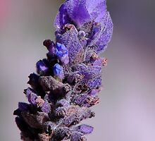 Lavender by ~ Fir Mamat ~
