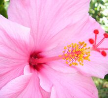 Hibiscus Close-up by emma155