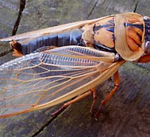 Cicada by lettie1957