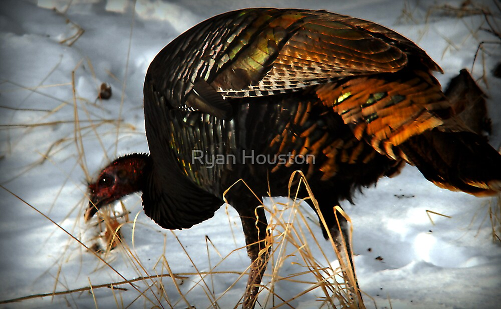 Wild Turkey Foraging for Food by Ryan Houston