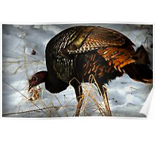 Wild Turkey Foraging for Food Poster