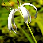 White Lilly by Jenny Wright