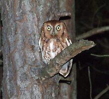 Eastern Screech owl by Michael Truesdale