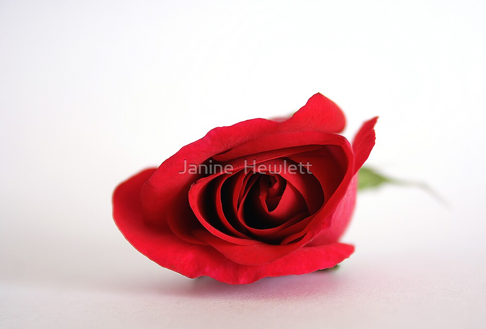 Rose Red by Janine  Hewlett