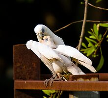 Little Corellas, Rapid Creek, NT by Keith McGuinness