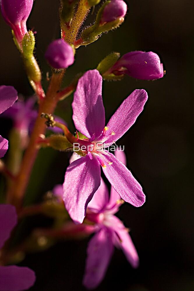 Trigger Plant (Stylidium graminifolium) by Ben Shaw