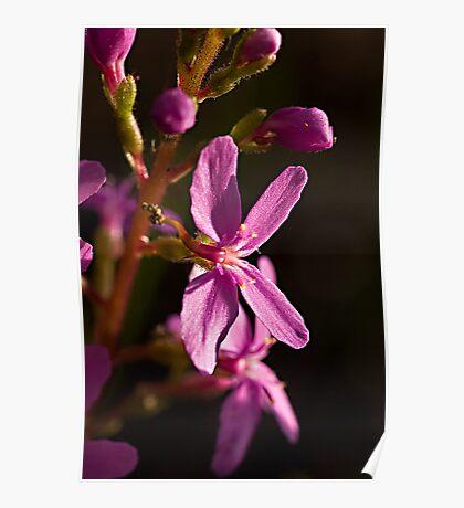Trigger Plant (Stylidium graminifolium) Poster