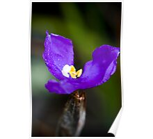 Wildflowers of the Blue Mountains - Dwarf Purple Flag Poster