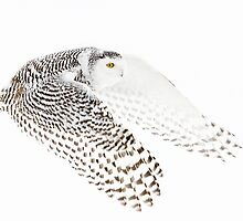 Wings Out - Snowy Owl by Jim Cumming
