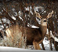 Mountain Mule Deer by Ryan Houston
