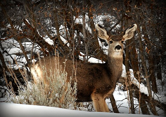 Mountain Mule Deer by Ryan Houston