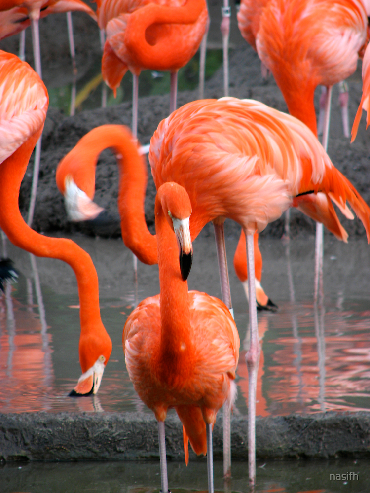 Flamingo by Nasif Hussain