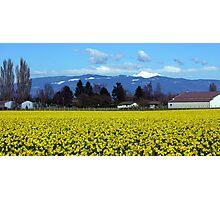 Daffodil Farm Photographic Print
