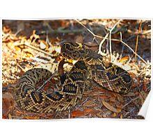 Eastern Diamond Back Rattle Snake Poster