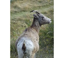 Mother Bighorn Photographic Print