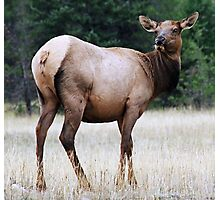 Feme Elk Photographic Print
