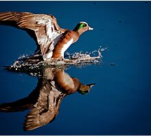 American Wigeon Photographic Print
