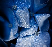 Hydrangea Blues by Ollieography