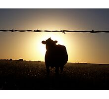 Cow at Sunset Photographic Print