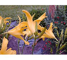 Daylilies After The Rain Photographic Print