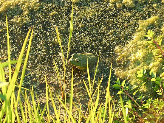 Bullfrog by ahedges
