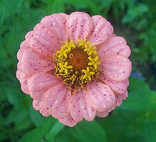 Pink & Yellow Flower by SandoPhotos