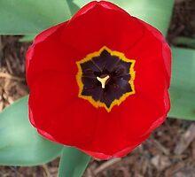 Red Tulip by SandoPhotos