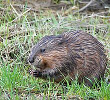 Muskrat Love by Maria Dryfhout