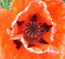 Sunburnt Poppy by Cassandra Devine