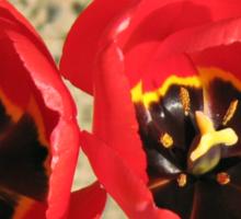 Tulip Twins Sticker