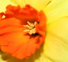 Narcissi by Mibby
