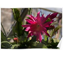 Vivacious Christmas Cactus Bloom Poster