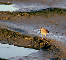 Red Shank at the Mud Flats by kitlew