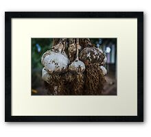 Garlic harvest #2 Framed Print