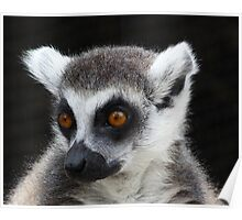 A Favorite Ring-tailed Lemur Portrait Poster
