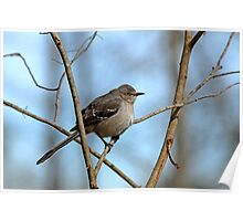 Mockingbird on Frosty Morning Poster