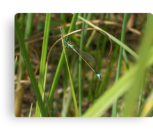 Dragonfly Among the Reeds Canvas Print