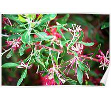 Native Flower... Grevillea  Poster
