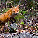 Fox on the Run by BigRPhoto