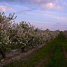 Apple Blooms by BigRPhoto