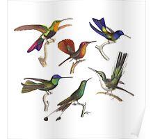 Six Hummingbirds Antique Print Poster