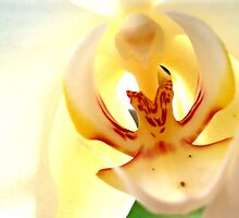 White Orchid 1 by James Stevens