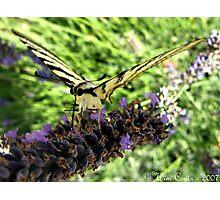 Nectar sucker... Photographic Print