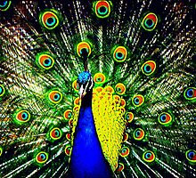 Peacock Displaying by kitlew