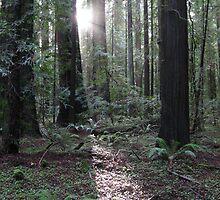 redwood dawn by Bruce  Dickson