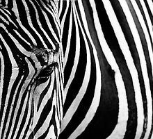 Zebra by Paul Morley