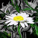 Dewdrop Daisy by Jesse Riesmeyer