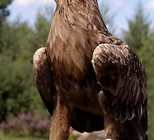 Eagle by PhotoAmbiance