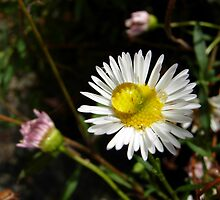 Little White Daisy by Sybelle